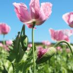 Die rosafarbene Mohnblüte <br> Wunderschönes Nordhessen